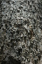 Free Tree Bark Texture Stock Photography - 2767212