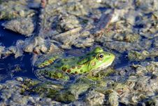 Free Frog Stock Photo - 2760220