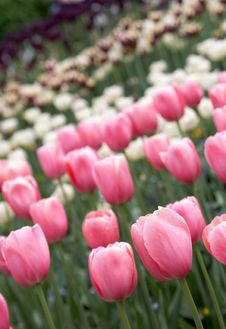 Free Tulip Stock Images - 2762164