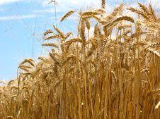 Free Barley Stock Photos - 2763653