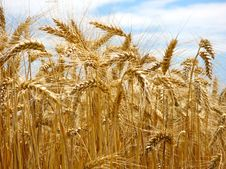 Free Wheat Royalty Free Stock Photos - 2763658