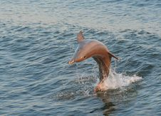 Free Jumping Dolphin Royalty Free Stock Photography - 2764407