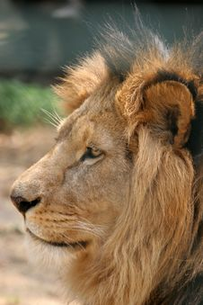 Free Male Lion Portrait Royalty Free Stock Photography - 2764877