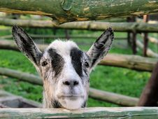 Free Goat Royalty Free Stock Photo - 2767365