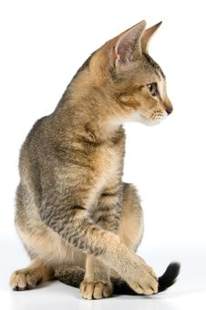 Free Kitten In Studio Royalty Free Stock Images - 2767449