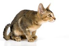 Free Kitten In Studio Royalty Free Stock Photos - 2767498