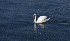 Free Swimming Swan Royalty Free Stock Photography - 2767527
