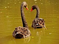 Free Black Swans Royalty Free Stock Photo - 2767605