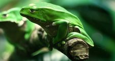 Picturesque Green Frogs Stock Photos