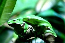Picturesque Green Frogs Stock Photography