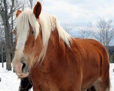 Free Draft Horse Stock Image - 2768171