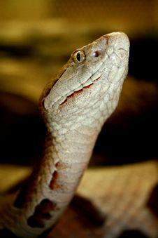 Free Venomous Snake Royalty Free Stock Photos - 2768238