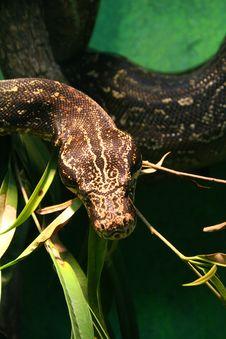Free Venomous Snake Royalty Free Stock Photos - 2768328