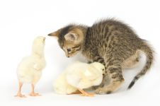 Free Kitten And Baby Chicks Stock Photo - 2768440