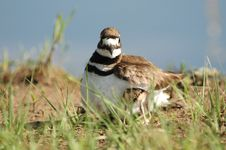 Free Killdeer Mother Royalty Free Stock Photography - 2769777