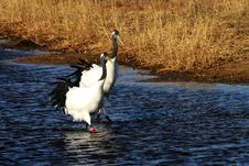 Free Red-crowned Crane Walking In The Lake Stock Photo - 27602480