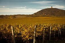 Vineyards In The Autumn Stock Image