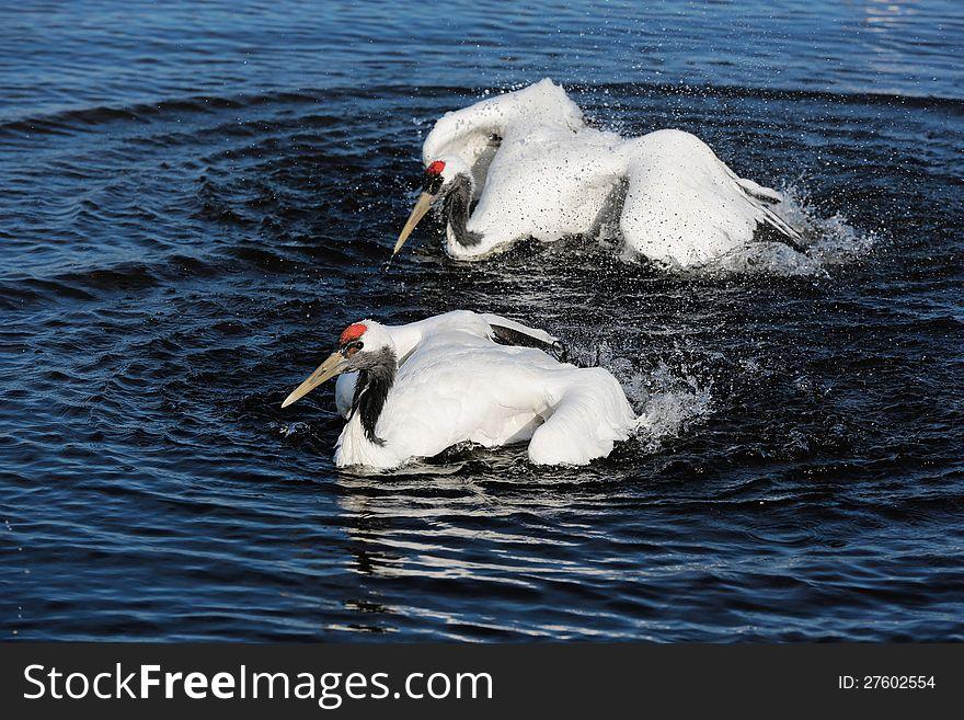 Lake red-crowned crane
