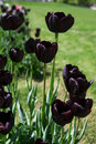 Free Dark Tulips In Garden Stock Photography - 27617972