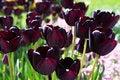 Free Dark Tulips In Garden Royalty Free Stock Photos - 27618018