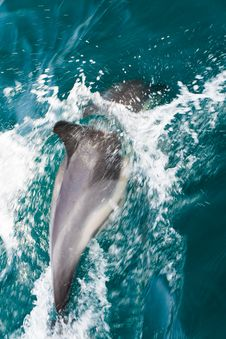 Free Common Dolphins Swimming Stock Images - 27610404