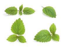 Free Various Lemon Balm Royalty Free Stock Photography - 27610967