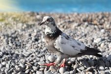 Gray Pigeon On The Stones Stock Images