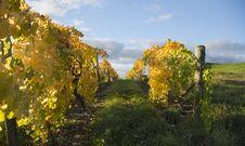Autumn Vineyard Stock Images