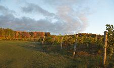 Free Autumn Vineyard Stock Photography - 27613422