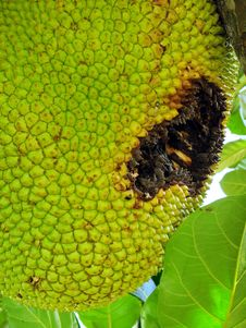 Free Big Ripe Jackfruit Royalty Free Stock Photography - 27615007