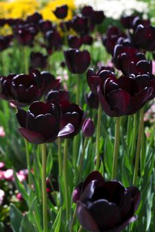 Free Dark Tulips In Garden Royalty Free Stock Photography - 27617997