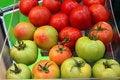 Free Tomatoes Stock Photo - 27621020