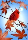 Free The  Northern Cardinal Sitting On A Maple Branch Stock Photos - 27627123