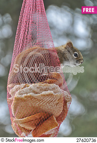 Squirrel Sticking head outside Onion Bag Feeder Stock Photo