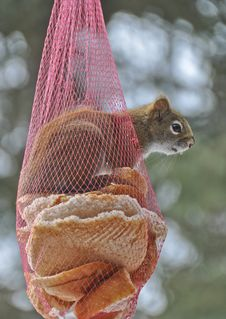 Free Squirrel Sticking Head Outside Onion Bag Feeder Royalty Free Stock Image - 27620736