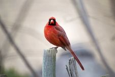 Free Red Male Cardinal Royalty Free Stock Image - 27621846