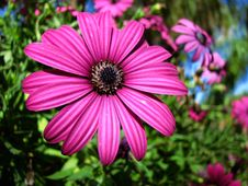 Free Purple Daisy Flower Stock Images - 27623574