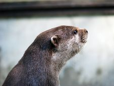 Free Otter Stock Photo - 27624290