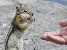 Free Hand Feeding A Chipmunk Stock Photos - 27626113