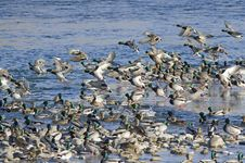 Free A Flock Of Mallard Ducks Royalty Free Stock Photo - 27626265