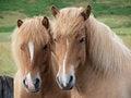 Free Two Horses Royalty Free Stock Photos - 27632408