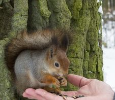 Free Squirrel On A Tree Royalty Free Stock Image - 27638786