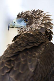 Free Bird Of Prey Head Study Stock Photo - 27639930