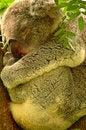 Free Koala Royalty Free Stock Images - 27646029