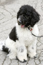 Free Black And White Standard Poodle Puppy Royalty Free Stock Photography - 27646817
