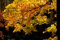 Free Brilliant Fall Leaves On A Black Background. Royalty Free Stock Photos - 27648888