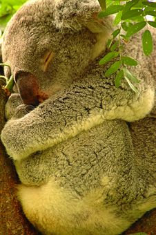 Free Koala Royalty Free Stock Images - 27646029