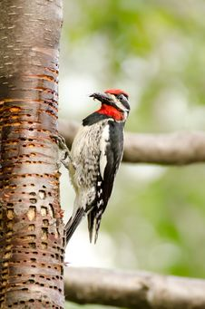 Free WoodPecker Royalty Free Stock Photography - 27650257