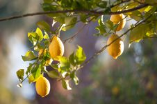 Free Lemon Tree Close-up Royalty Free Stock Image - 27650356