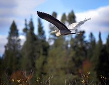 Free Blue Heron In Flight Stock Photo - 27655220